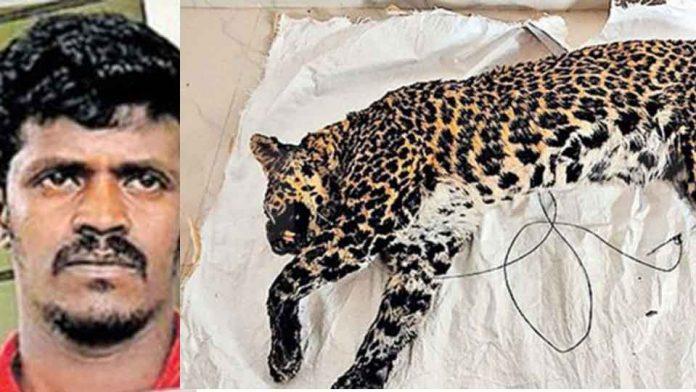 tiger-crime