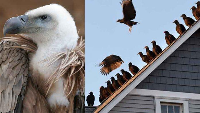 Vulture.image..