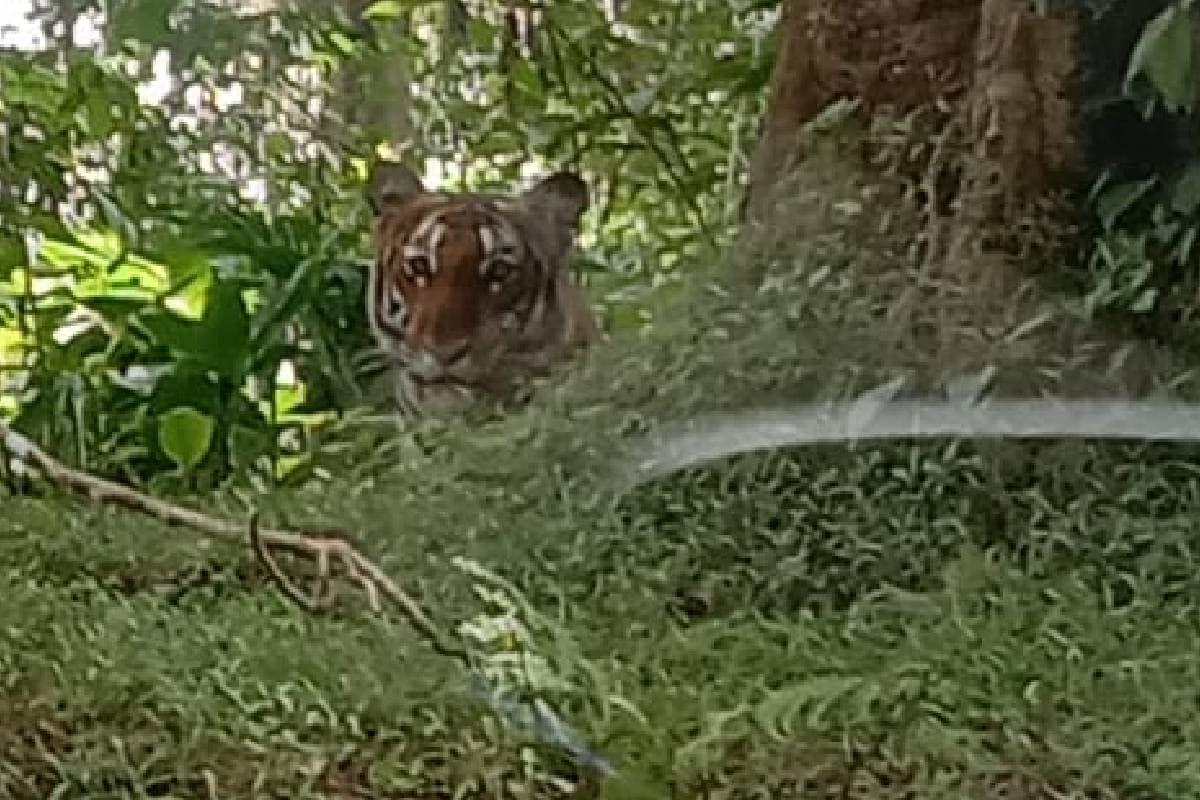 wayanad-tiger